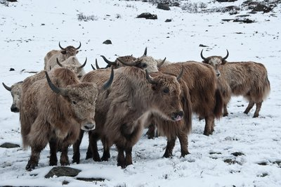 Yaks, 4 girls mountains